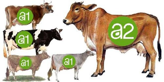 Which milk is better A1 or A2 – A scientific analysis